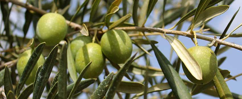 Extracto de fruto de Olivo