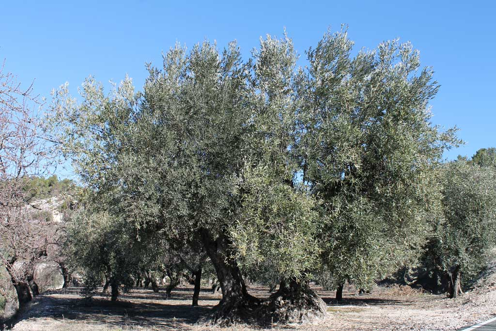 Properties and benefits of the Hydroxytyrosol from olive trees.