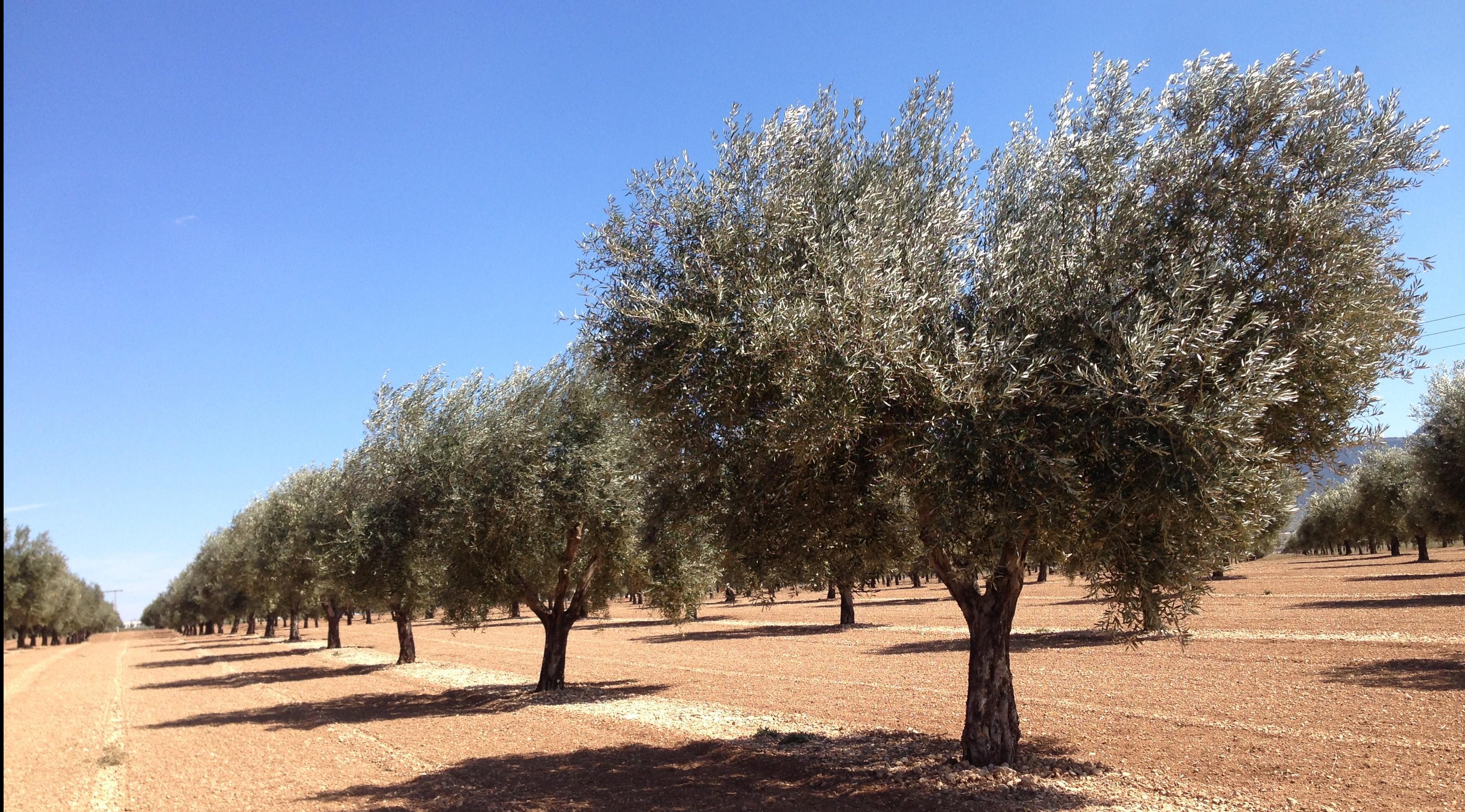 Propiedades y beneficios del Hidroxitirosol de los olivos.