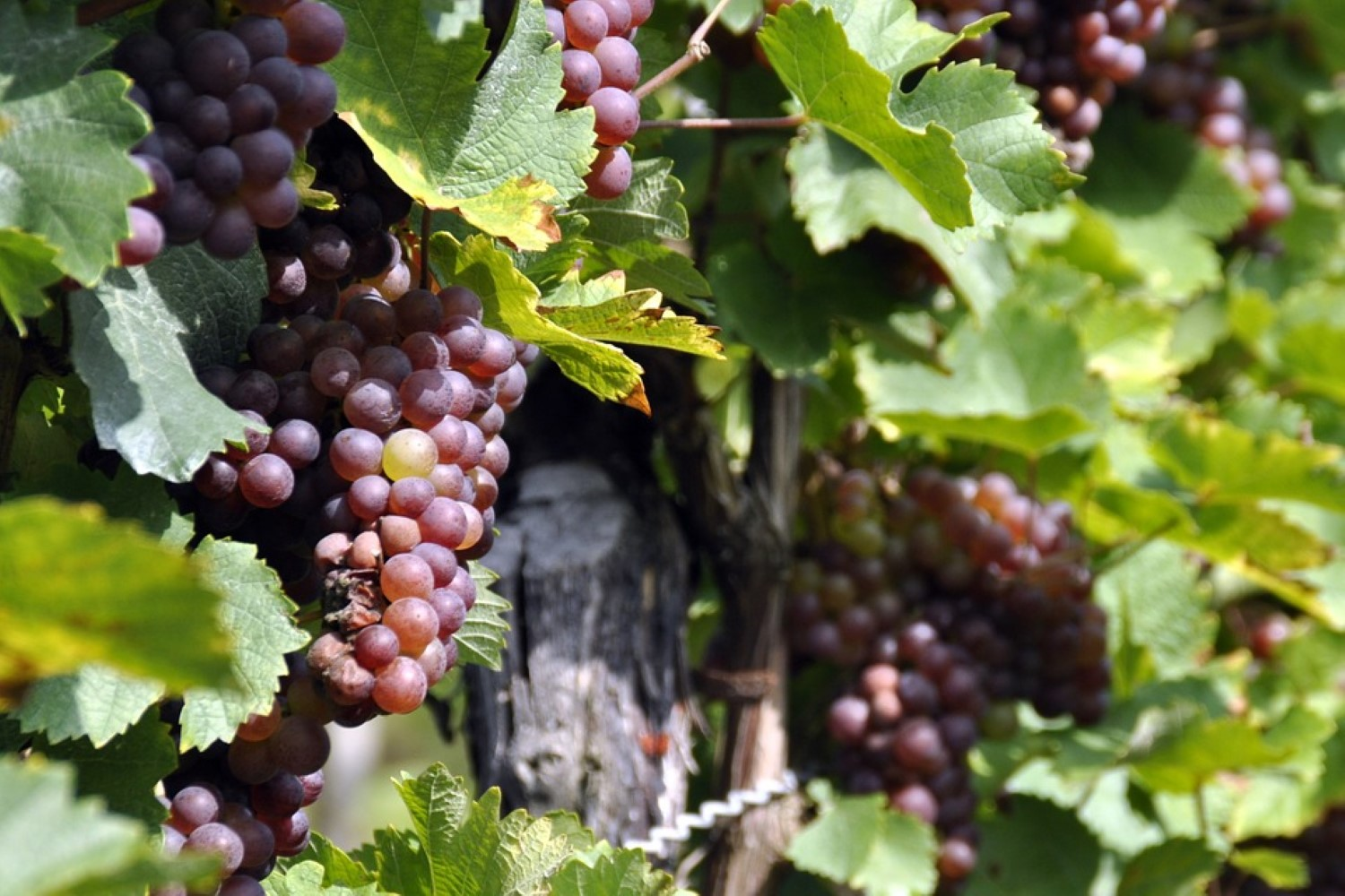 Times for harvest and new nutraceutical products. Grape Extracts (Part I).