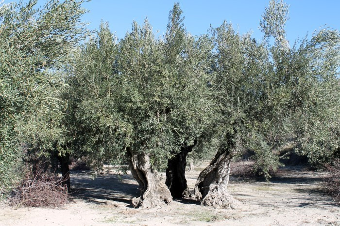 Olive plant (Small)