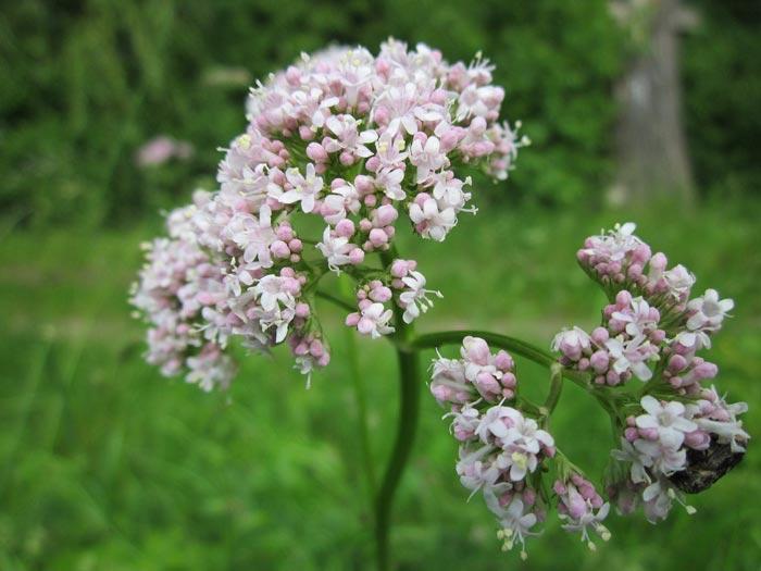 valerian-flower