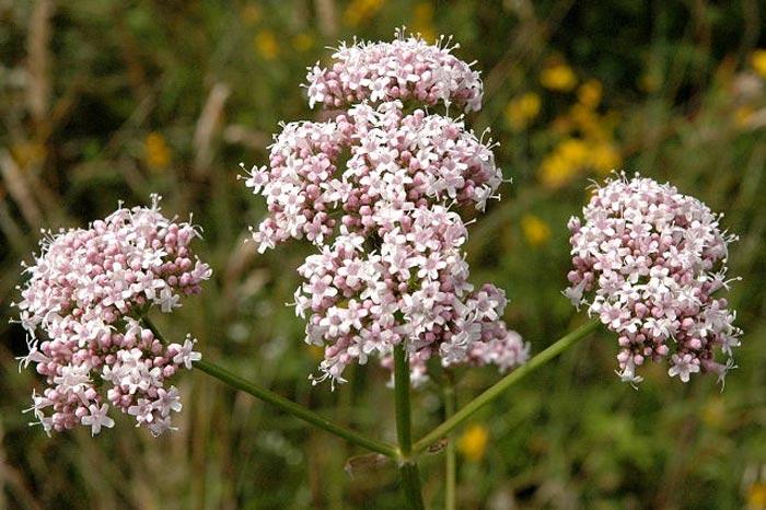 valeriana flor