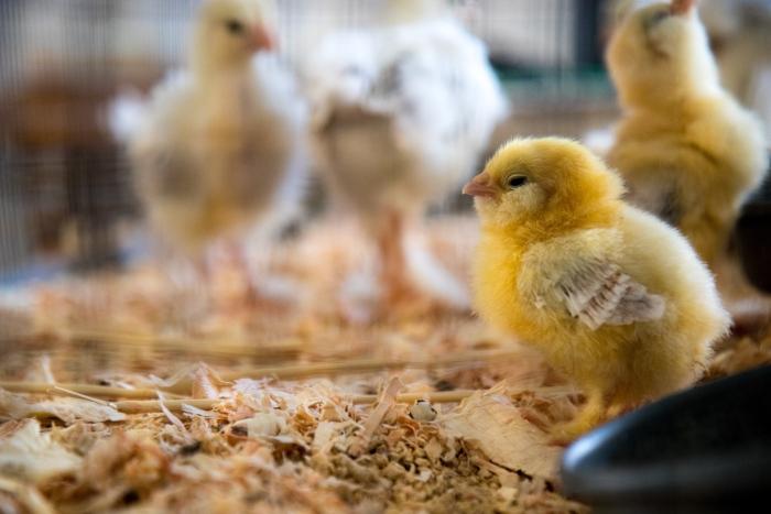 piensos funcionales a base de extractos citricos en avicultura