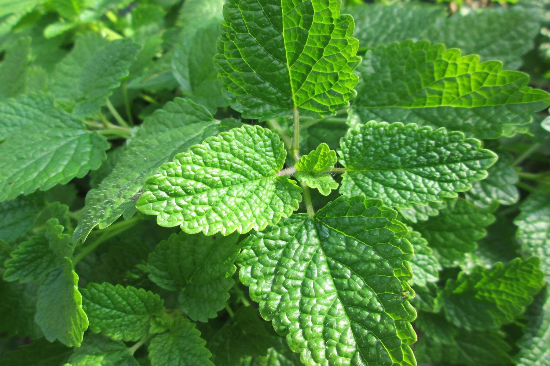 Melisa, también conocida como bálsamo de limón o taronjil