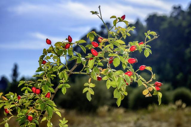 Ácidos esenciales, además de antioxidantes y vitaminas A, C y E en el aceite de rosa mosqueta